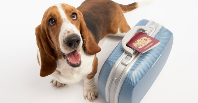 Beagle with suitcase