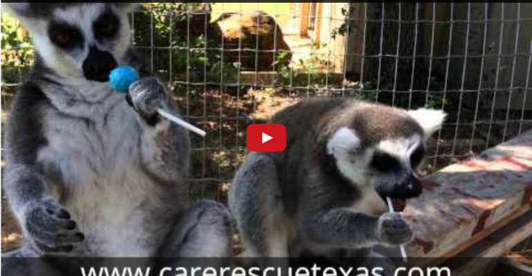 Just for Fun: Lemurs and Lollipops