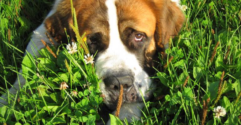 Photo of Saint Bernard peering up through grass by Elaine Ashton via Flickr