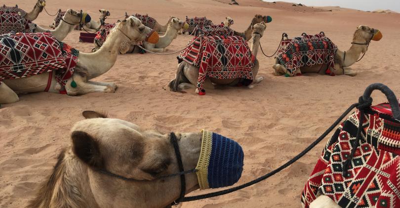 Dubai_camels.jpeg