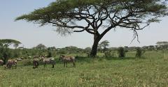 Zebras under an acacia tree in the Serengeti